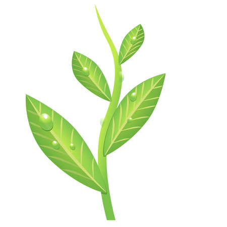 green tea leaves: drawing green branch of tea