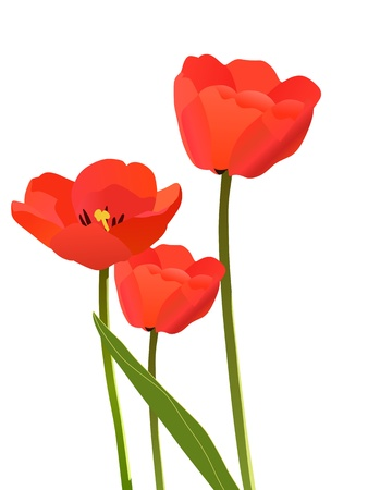 Three tulips isolated on white background Vector