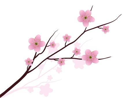 I fiori di ciliegio in piena fioritura