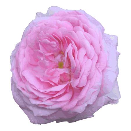 eglantine: dog-rose isolated on a white background