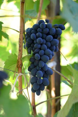 biological vineyard: Red wine grapes
