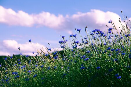 Field of beautiful blue flower of cornflower. Village pastoral landscape. Reklamní fotografie