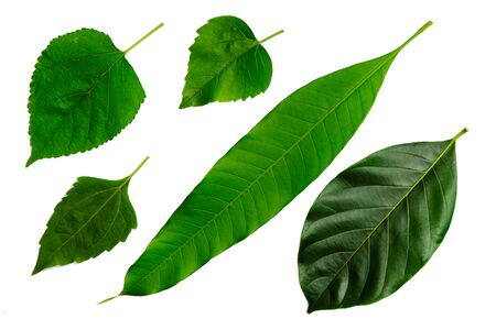 5th leaves of Siam weed, mango, Hibiscus , Mulberry, jackfruit