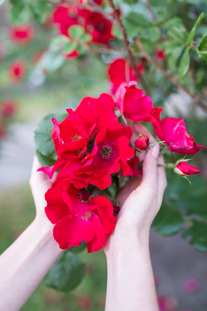 Little blooming pink roses in girls hands. Flowers. Blooming in the wild. On the background of dark green foliage. Romance and tenderness 版權商用圖片