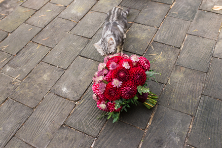 Red bridal bouquet from dahlias lies on the wooden background a stray cat sniffing it. Wedding floristic 版權商用圖片 - 98768038