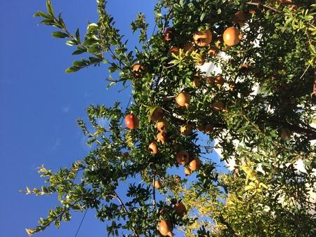 Red fruit pomegranate on a tree. Sunny day. 版權商用圖片