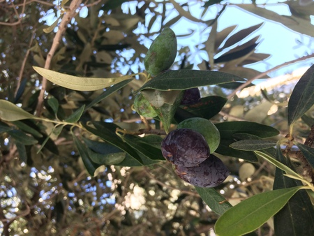 Olive ripened in the tree. harvest time. Collecting