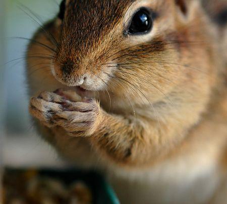 roedor: roedores