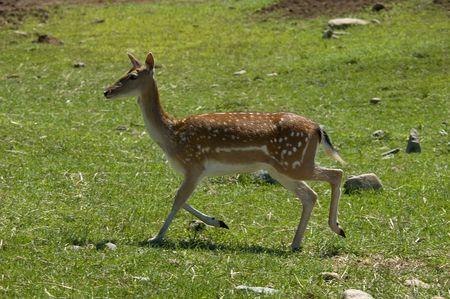 walking deer in park