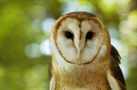 head of a barn owl photo