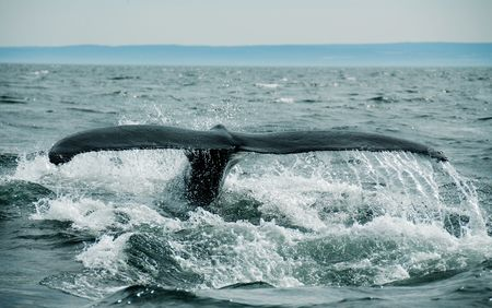 diving whale in st-laurent photo