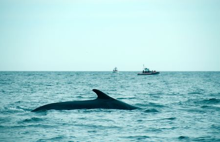 sperm whale in the St-Laurence photo
