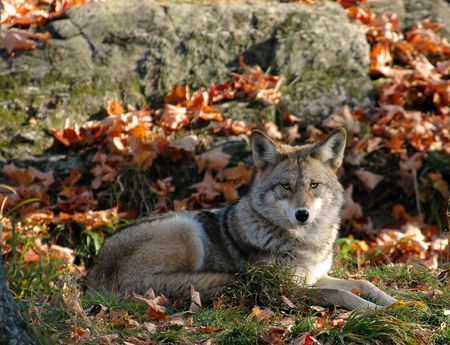 coyote in autumn lying down looking at the camera Stock Photo