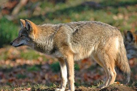 young coyote looking at his future prey Stock Photo
