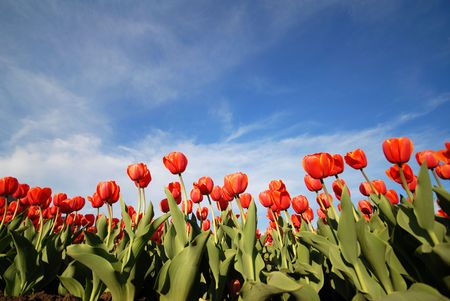 red flowers at spring with a blue sky Stock Photo - 910756