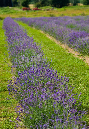 polen: a field of lavender in france with some purple