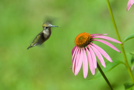 levitate: A humming bird in some pink flowers eating