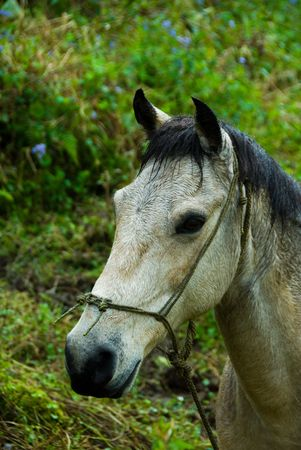 grey horse with some backgrond grass green