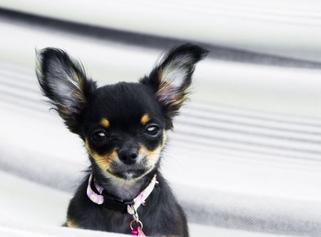 Chihuahua in a hammok being cute and a puppy