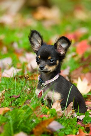 Chihuahua in grass being cute and a puppy