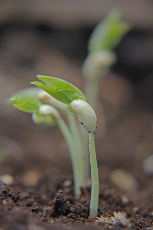 black eyed peas have sprouted Stock Photo - 28919048
