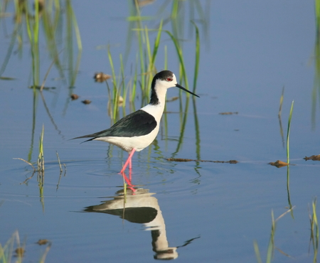 black winged stilt: This is in Beijing in the spring of Yanqing wetland shoot black winged stilt. Stock Photo