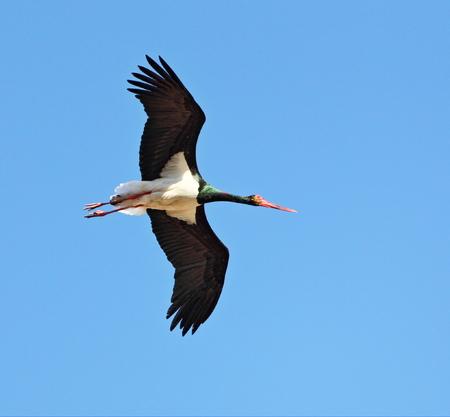 black stork: Flying black stork