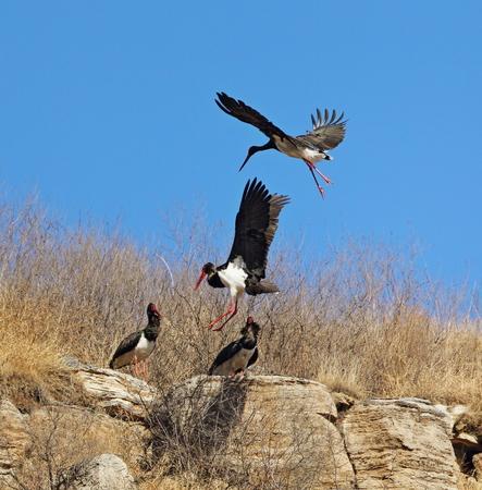 black stork: Black stork flying