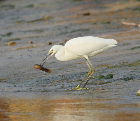 egrets: egrets  hunting fish