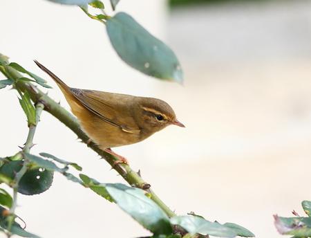 liu: Autumn migratory warbler