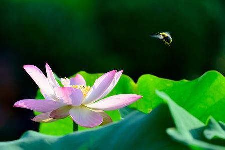 he: Close up view of lotus flower and bee