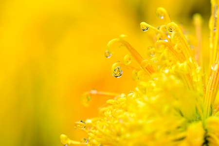 Chrysanthemum close up view
