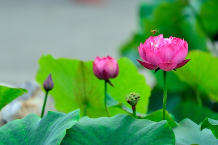 he: Lotus and bee close up view