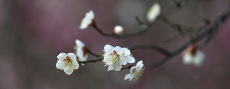 prunus: Prunus mume Stock Photo