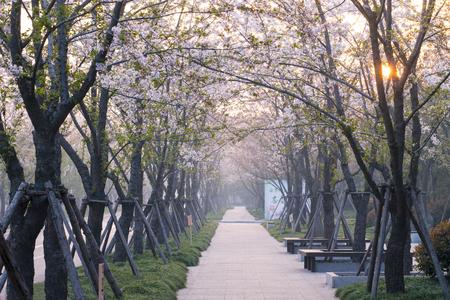 the Cherry Avenue in Yangzhou China