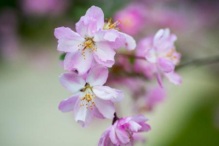 Chinese flowering crab-apple