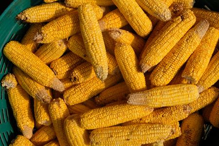 Corn stalks will be fed on farm animals. Stock Photo