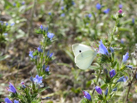 pieris: A white cabbage butterfly (Pieris rapae) searches for nectar
