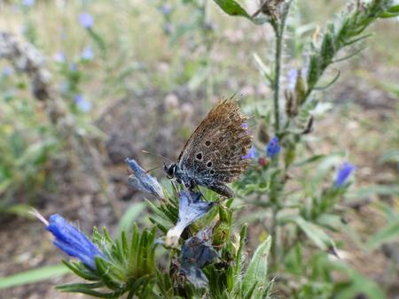 lycaeninae: An Idas blue butterfly (Plebejus idas) with a badly damaged wing