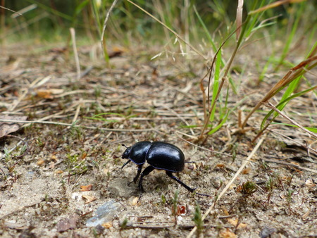 Side view of a scarab beetle walking across the soil