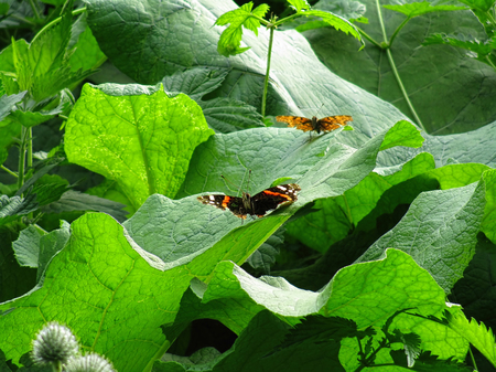 admiral: Red admiral butterfly on a canopy of dark green leaves