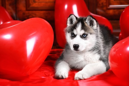 pink satin: Valentines day husky puppy on a texture background. Stock Photo