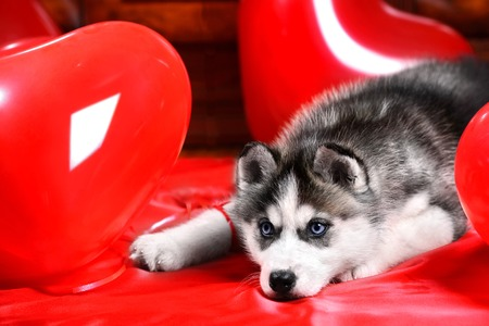 perros vestidos: Valentines day husky puppy on a texture background. Foto de archivo