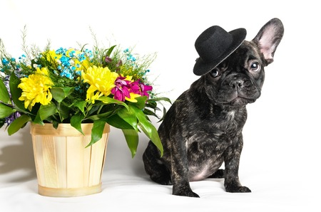 French bulldog sitting or lying in next to a spring bouquet in a basket isolated Stock Photo