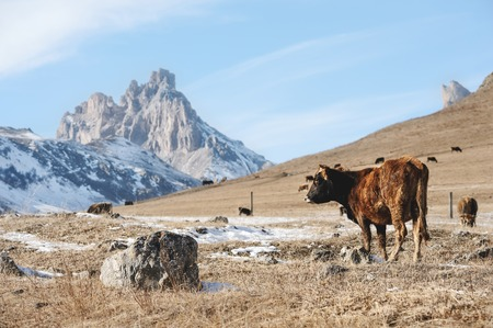 milker: Caucasian bulls and cows on the mountain pastures in the tract near Mount Elbrus on a background of beautiful rocks Stock Photo