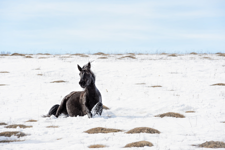 Caucasian Wild horses graze and frolic at the winter Caucasus mountain pasture against a blue sky