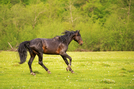 The Dark Stallion runs along the green pasture in the spring against the background of the green forest Stock Photo