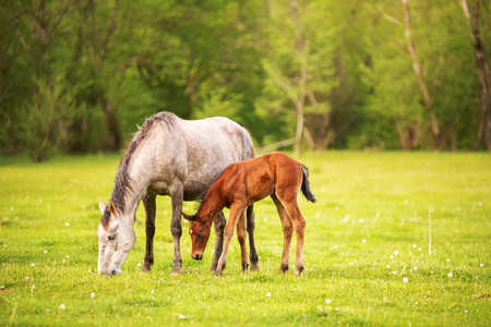 Mother horse with her foal grazing on a spring green pasture against a background of green forest in the setting sun Stock Photo
