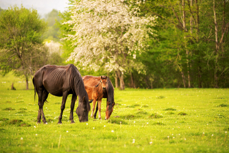 Mother horse with her foal grazing on a spring green pasture against a background of green forest in the setting sun Фото со стока