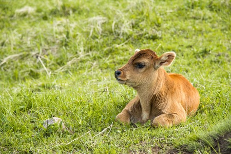 A small calf lies on a meadow